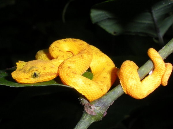 Young Eyelash Pit Viper