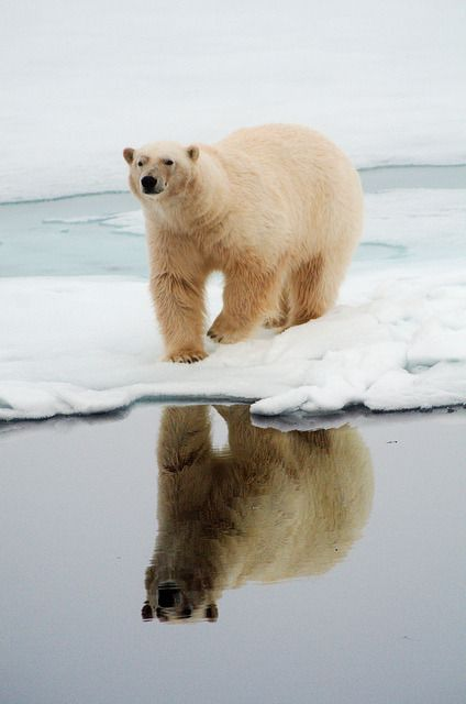 theperfectworldwelcome: Polar bear and reflection by ChrisvdBerge on Flickr