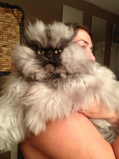 Best Colonel Meow Images On Pinterest Big Cats Cats And Colonial - Garfi is officially the worlds angriest cat