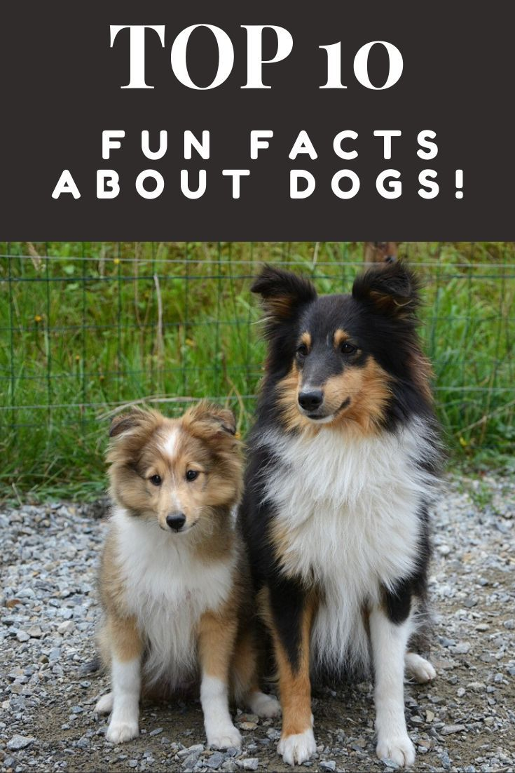10 Fun Facts About Dogs Dog Facts Fun Facts About Dogs Dog Lovers