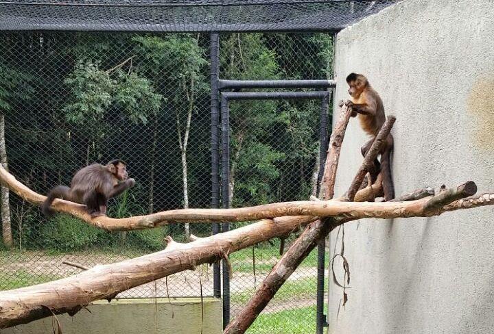 Macacos-prego no Zoológico de Curitiba. Curitiba, 15/04/2015 - Foto: Divulgação - Portal da Prefeitura de Curitiba.