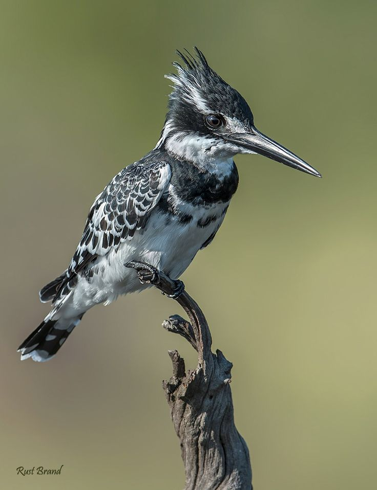 """"""" The Pied Kingfisher"""