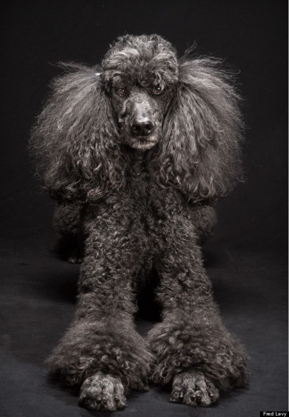 Mercedes the #Poodle