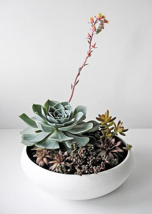 houseplants by AKURATNIE kwiaty   www.akuratnie.com.pl  www.facebook.com/akuratnie.kwiaty  www.instagram.com/akuratnie.dw  #akuratnie #echeveria #succulents #succulove #plants #eszeweria #sukulenty #rośliny