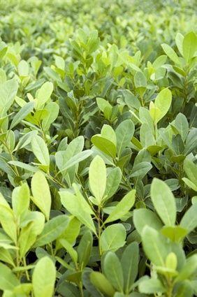 Erva-mate Planta medicinal e bebida utilizada como estimulante, diurético e emagrecedor, pode ser encontrada em infusão ou cápsulas.   Erva-mate - Chimarrão