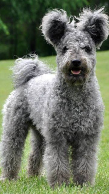 Pumi dog - Looks like a Schnauzer cross Poodle cross Wire Fox Terrier or maybe Airdale...