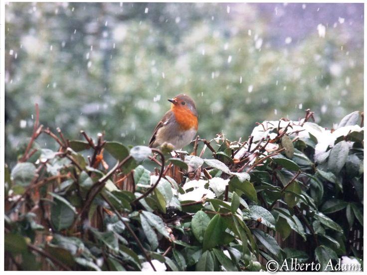 Little friend in my garden #pettirosso #robin #redbreast #igersItalia #igersbird #birds #igersanimals #Alberto #Adami