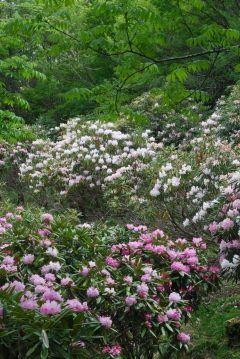 野鹿池山のシャクナゲを見に行ってきました  2017年5月21日(日)現在の状況個人的な感覚です  2割散る6割満開2割これからという感じでしょうか  今のところ散った花も汚くなく咲いている花は瑞々しく生命力があふれています  今頃が一番の見頃だと思いますとても気持ちよく見られると思います  次の週末まではまだ見れると思いますが散った花が汚くなる前に早めに行かれることをお勧めします  道中道が細く少々荒れているところもありますので運転にはお気を付け下さい   #徳島県 #三好市 #山城町 #シャクナゲ tags[徳島県]