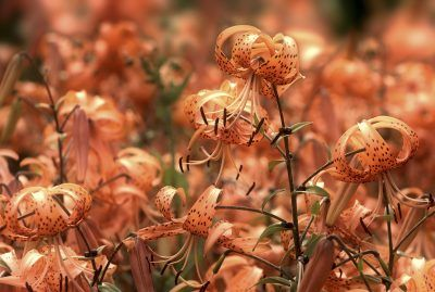 Transplanting Tiger Lilies: How To Transplant Tiger Lily Plants -  Dividing the cluster of bulbs and transplanting tiger lilies will enhance growth and blooming, and increase your stock of these charming lilies. For best success, you should know when to divide and how to transplant tiger lily plants. This article will help.