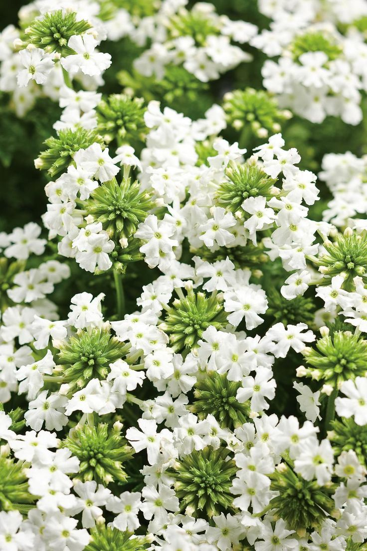 365 best my soulful home a white garden images on pinterest babylon white verbena dhlflorist Image collections