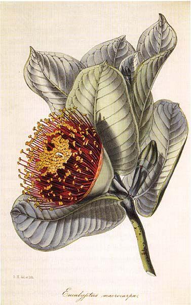Eucalyptus macrocarpa  Mottlecah  artist: Samual Holden (1836-89)             from: 'Magazine of Botany' (1849)   by Joseph Paxton   England    Published as: Eucalyptus macrocarpa