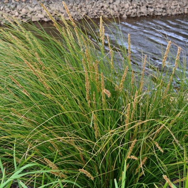 47 best grasses and ground covers images on pinterest grasses au tall sedge is a great plant for dry river bed garden designs and can also be used around ponds and dams altavistaventures Gallery