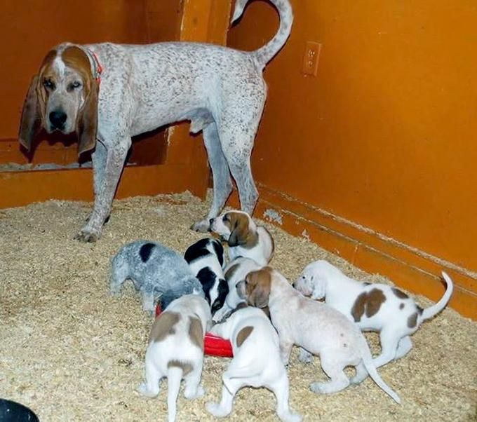 Big Family American English Coonhound http://ift.tt/2yzMHMm