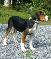 Image result for finnish hound