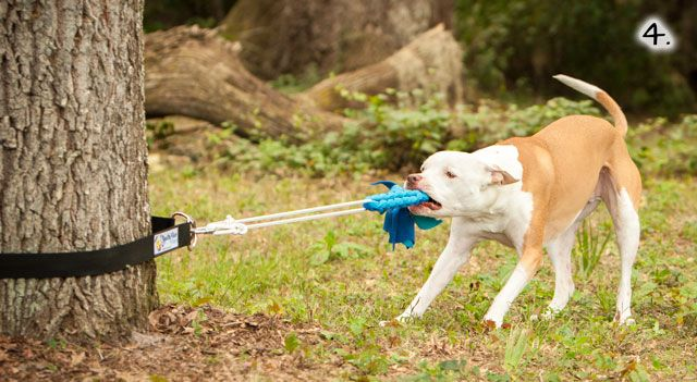 Tug-of-war is a game dogs naturally love to play, plus it's great exercise. Use these photo instructions to see how to attach a tug toy to a tree.