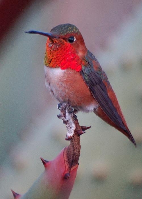 Allen's hummingbird by Meeli Sonn