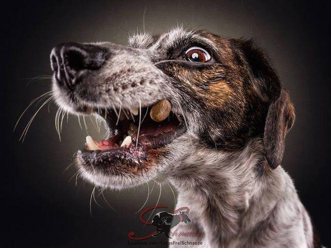 Забавные фотографии собак, ловящих лакомства (15)