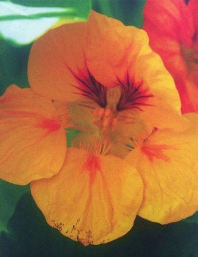 Vanwege de culinaire veelzijdigheid en de felle kleuren past de Oost-Indische kers heel goed in een moestuin. Geel, rood, oranje, gestreept, met groen en bont blad, kruipend, hangend en klimmend – u kunt er alle kanten mee op. Het blad bevat veel vitamine C en is een natuurlijk antibioticum. Het houdt ook de luizen weg bij uw groenten. Het koolwitje legt er namelijk graag haar eitjes in en de rupsen die daaruit voortkomen blijven dan weg bij uw kool, die u er dus prima naast kunt zetten. De…