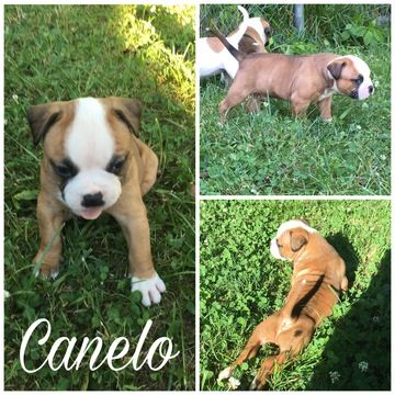 Litter of 3 American Bulldog puppies for sale in PLEASANT VIEW, TN. ADN-34130 on PuppyFinder.com Gender: Male. Age: 4 Weeks Old
