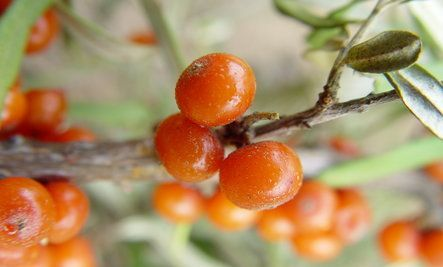 Sea Buckthorn: Ancient Healer and Modern Superfood. http://amazinghealth.com/store/us/health-books-and-dvds/health-books/gabriel-cousens-md-there-is-a-cure-for-diabetes-book