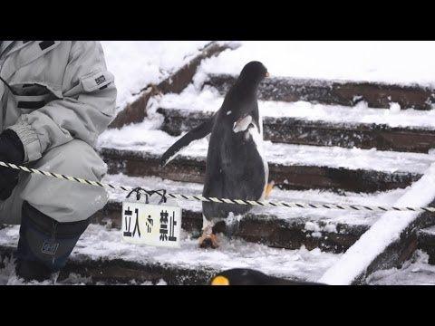 ▶ 旭山動物園 ジェンツーペンギン38番脱走お散歩-Gentoo penguin- - YouTube