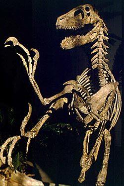 Mise en scène du squelette du Deinonychus