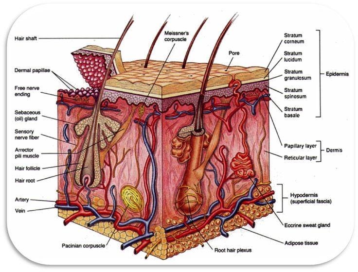 Integumentary System « Anatomy, female anatomy, anatomy dictionary ...