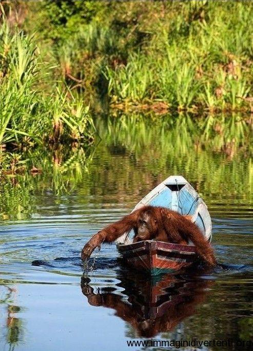 La scimmia che guida una barca immagini-divertenti.org