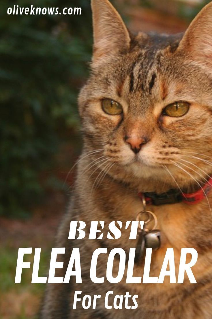 Best Flea Collar For Your Cat Oliveknows Cats Flea Collar Fleas