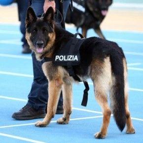 Anche i cani poliziotto vanno in congedo permanente. Non per forza anzianotti, a volte feriti sul campo, o quando per vari motivi non sono più abili al servizio. Cosa fare per adottarli? Leggi qui.