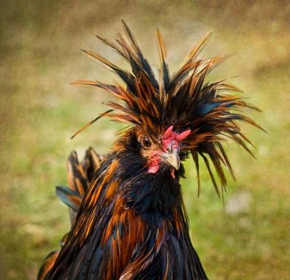 Breed Funny Chicken Crazy Hair Meme Wwwpicturessocom