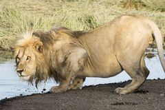 lion drinking. Royalty Free Stock Images