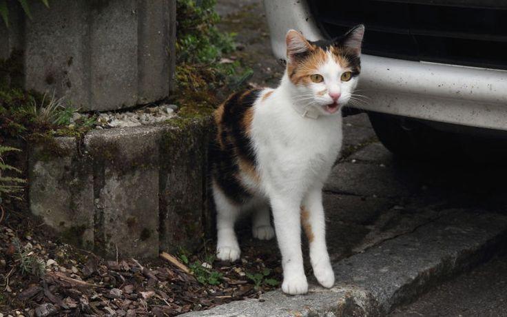 Narząd Jacobsona u kotów