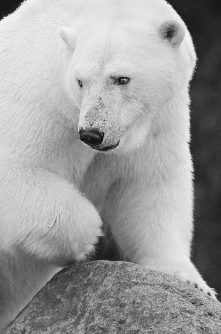 """earthlynation: """"(via 500px / Polar bear by Maxime Riendeau) """""""