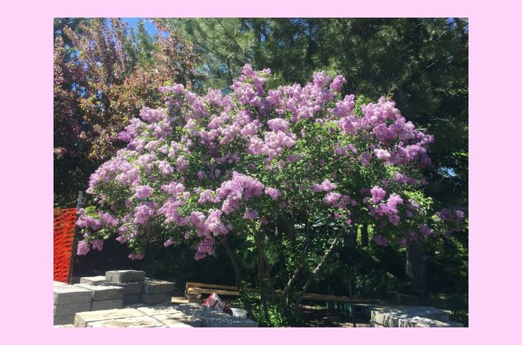 Chinese Lilac - Syringa x chinensis, Zone 4, small tree. Colors include: purple, pink, blue, white