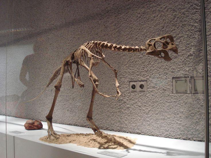 Squelette monté d'Oviraptor philoceratops, Staatliches Museum für Naturkunde, Stuttgart. Dinosauria, Saurischia, Theropoda, Oviraptorosauria, Oviraptoridae. Auteur : Ghedo, 2010.