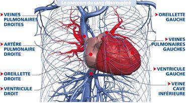 La circulation pulmonaire | Le Corps Humain