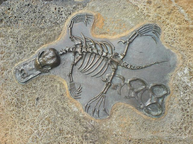 Platypus Fossil | this is totally awesome, i ♥ platypus! however, the 6pack ring on his leg is not at all awesome.