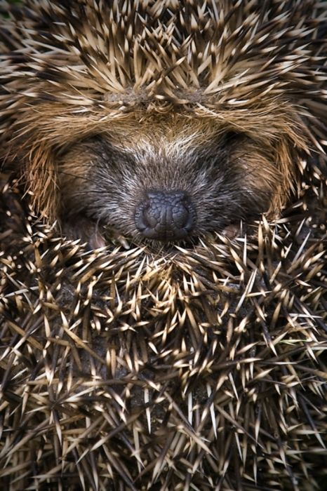 llbwwb:    Rolled up Hedgehog by AnimalKingdom: Critter, Animal Kingdom, Pet, Creatures, Adorable, Things, Hedgehogs, Hedgi, Furry Friends