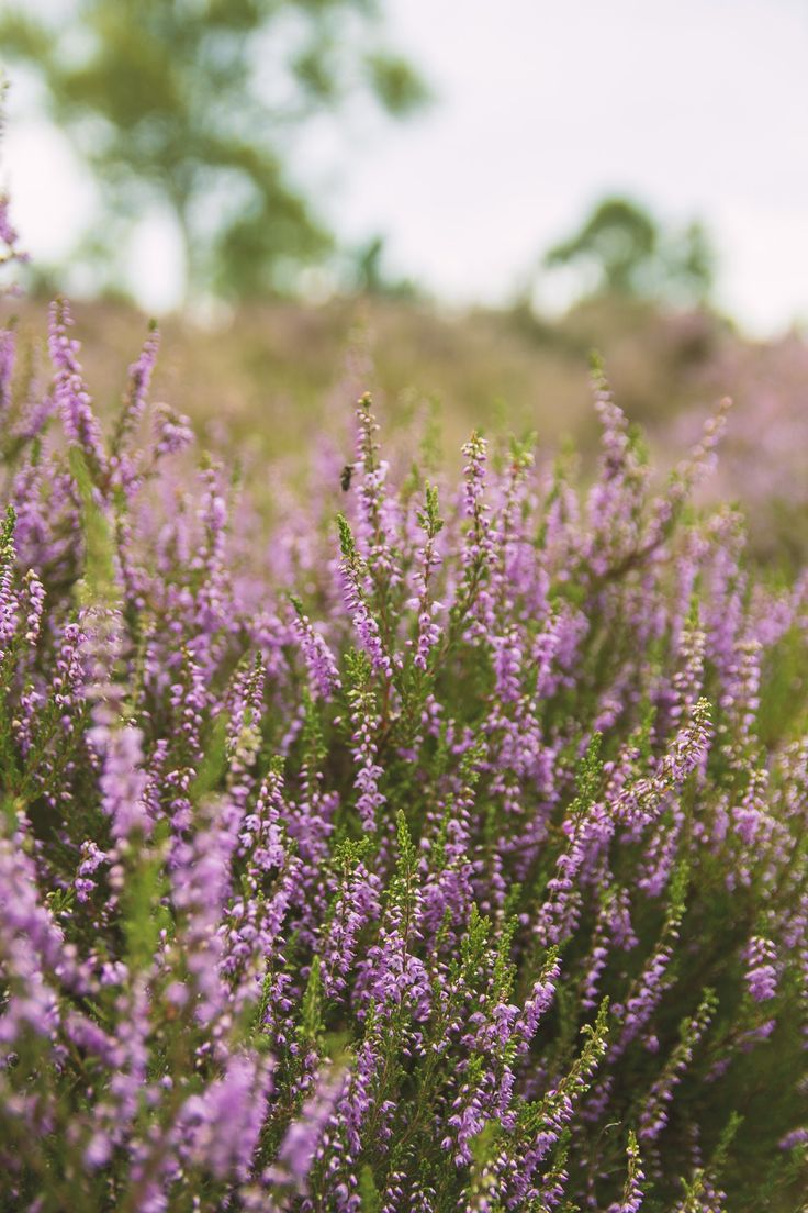 Free Downloadable Purple Heather Photo Set in 2020 (With