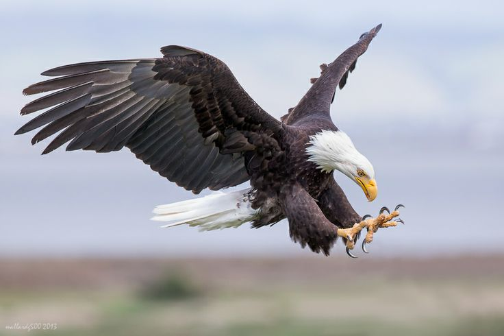 Female Bald Eagle with talons extended.  Wildlife and bird photography by Phoo  Chan