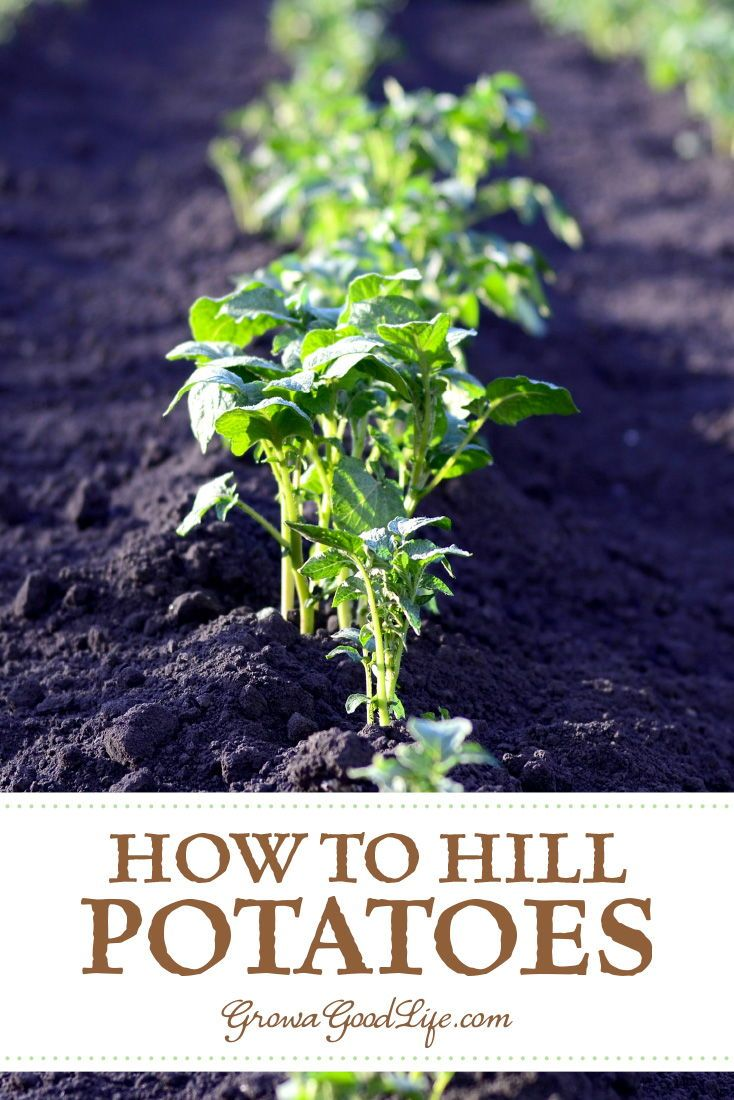 How To Grow Potatoes Trench And Hill Method Growing Vegetables