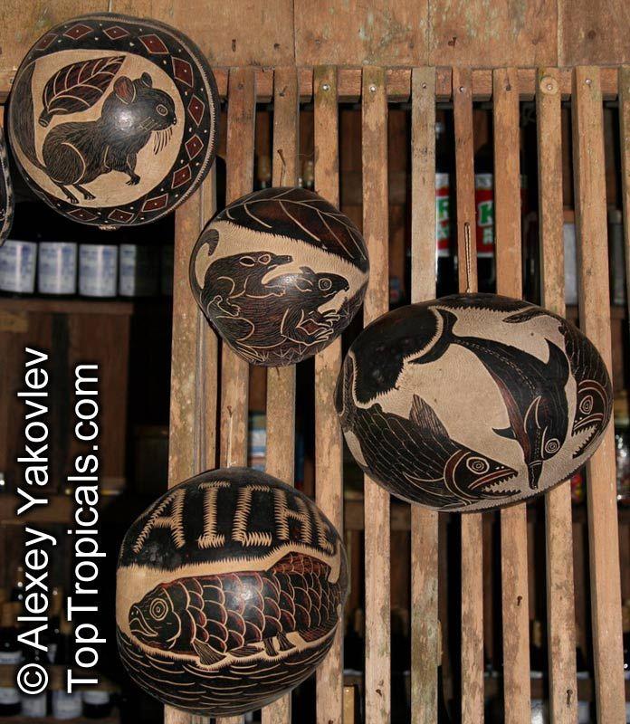 Crescentia cujete, Calabash Tree, Krabasi, Kalebas, Huingo. Calabash art!