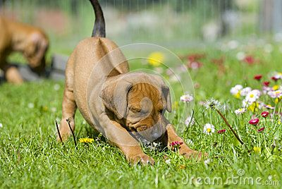 Cute little Rhodesian Ridgeback puppy is playing in the grass in garden. It is biting in a flower and has a funny expression in face while stretching the whole little body. The little dog is five weeks of age.