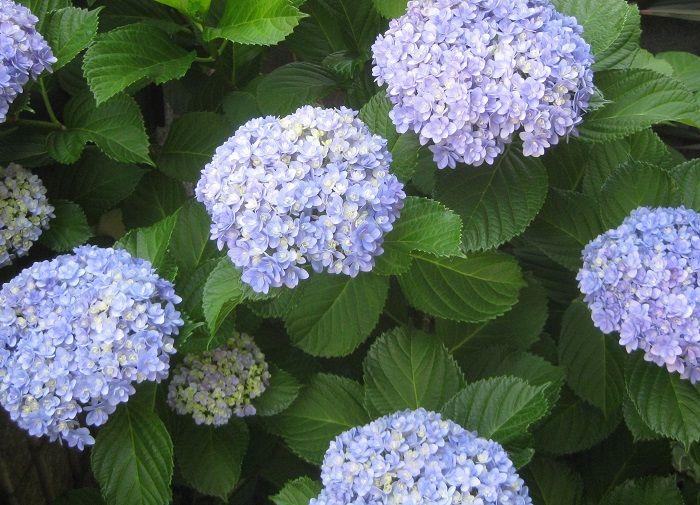 やってみた 紫陽花 アジサイ の増やし方 切り戻し剪定と挿し木の適期と生長 挿し木 紫陽花 ガーデニング 花
