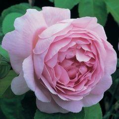 Constance Spry est un rosier arbuste à végétation souple avec de splendides fleurs, rose vif