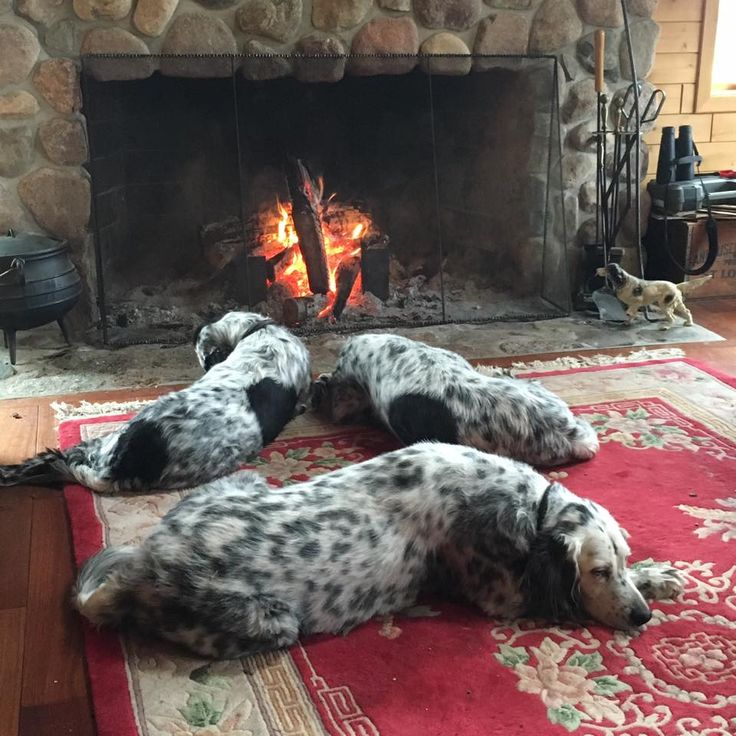 a trio of English Setters