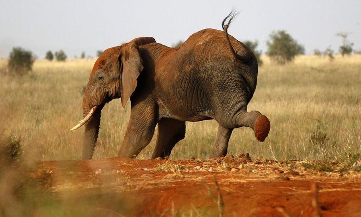 Chi dice che l'attività fisica è praticata solo dall'uomo? A Nairobi, nel parco nazionale di Tsavo, il fotografo Thomas Mukoya ha immortalato un pachiderma mentre stava facendo stretching. L'elefante è una specie-simbolo in Kenya e la condizione in cui vive è un indicator