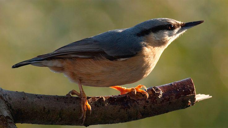 British garden birds - Nuthatch