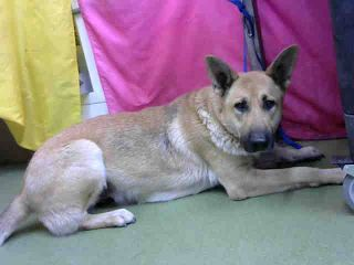 DEVORE,CA. EUTH LIST 11/18/17. Vivian ID# A685301. 2 yr. old female German Shepherd mix. Rescue only. Possible fear biter. Arrived 11/13/17.